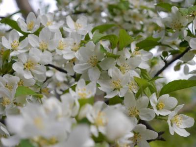 新緑の季節☆彡 奥飛騨温泉郷から上高地へ・・2泊3日で行って来ました。新緑の木々・残雪の山・澄みきったあずさ川・かわいい花達・・すべてが美しかった上高地編(2)♪♪