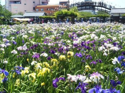 週末は潮来あやめ祭り開催中の潮来あやめ園と紫陽花の名所二本松寺へ(2018/6/3日)。