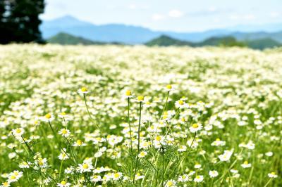 思い出の花カモミール 和名 カミツレ カミツレの花に包まれた旅 安曇野の旅