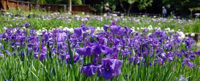枚方・山田池公園の花しょうぶ園にて。
