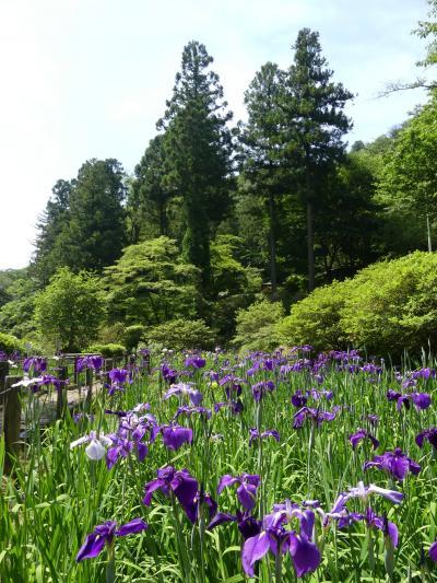 吾妻公園のハナショウブ_2018_咲き揃ってきました。綺麗な花が沢山あります。(群馬県・桐生市)