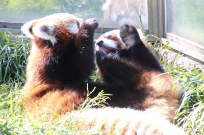 初夏の神戸&鯖江へレッサーパンダの子供たちの成長とグルメを楽しみに(2)王子動物園(前編)平日ゆったり会えた3大アイドル<コアラ>午前中ほとんど目を覚ましていたボタンちゃん&<ジャイアントパンダ>猫背タンタンちゃんのご飯タイム&<レッサーパンダ>ジャズ・メロは午後からが本番!?~まだ見られた飼育員さん抱っこのリンゴタイム