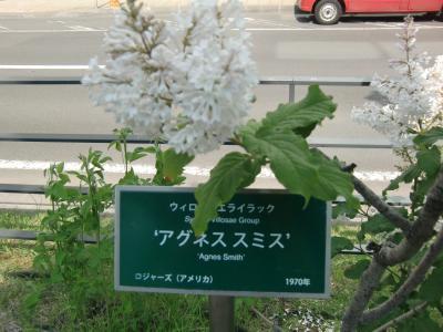 遅咲きライラックを見に、創成川公園へ 2018