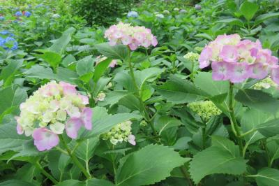梅雨には紫陽花がよく似合う