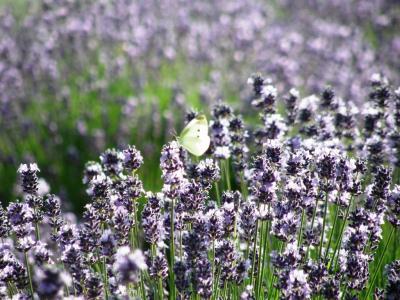 花紀行・・・③ラベンダー花壇・ラベンダー山のしらさぎ公園でラベンダーを楽しむ
