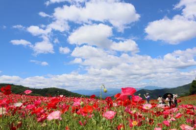 天空のポピー、ハナビシソウの咲く秩父へ・・・