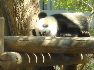 ハッピー・バースデー♪シャンシャン☆満1歳 誕生日当日&5月の上野動物園