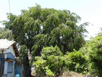 番場の桜の大木がある家屋敷と枝垂れ桜のある家屋敷
