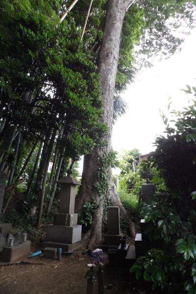 お墓の欅の木(相模原市緑区下九沢)