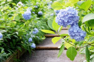 鎌倉 あじさい寺で満開の明月院ブルーを愛でる。
