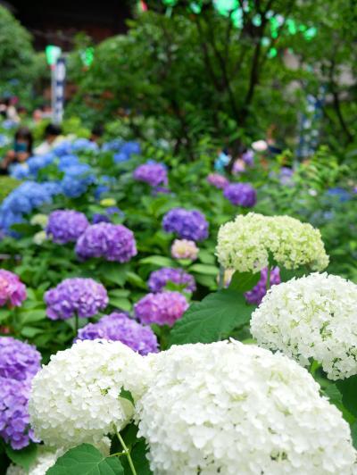 白山神社 紫陽花祭り