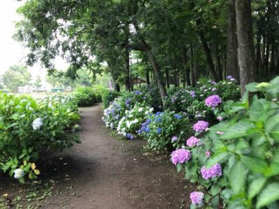 あげお花しょうぶ祭り2018~アジサイと蓮も見れる丸山公園の花祭り~