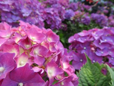 【台湾暴食之旅】紫陽花とクラシックな温泉旅館 / 台北、陽明山 / 台湾