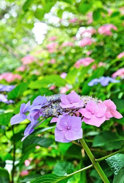 梅雨時を涼やかに彩る紫陽花を見に『梅宮大社』へ