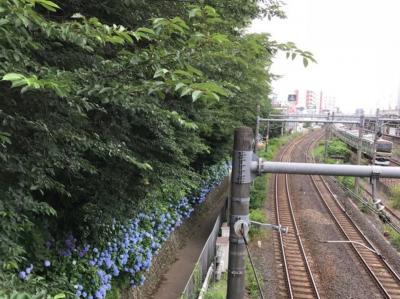 東京・王子の飛鳥山公園のあじさい2018