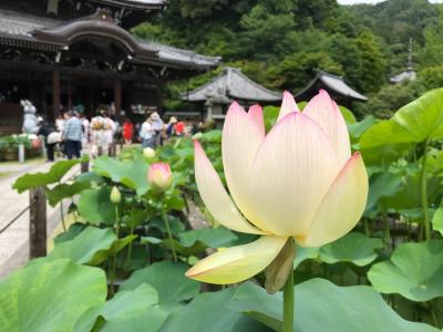 西国第十番札所   紫陽花咲く三室戸寺〜宇治平等院へ