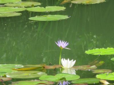 北川村にある「モネの庭」の青い睡蓮