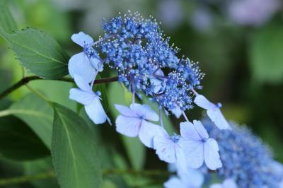 梅雨時に咲くアジサイ見に♪ 稲沢大塚性海寺は、花の寺♪ 名鉄竹村駅のハス♪