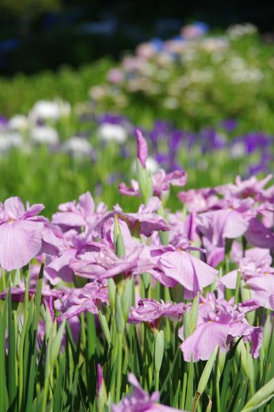 菖蒲とあじさいが見頃の花の郷 滝谷花しょうぶ園