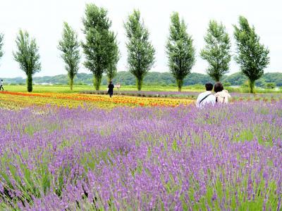 千葉の花巡り 佐倉ラベンダーランド、宗吾霊堂の紫陽花、川村美術館の自然散策路