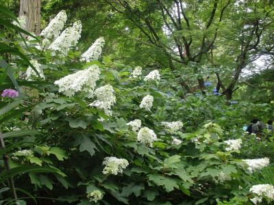 明月院から鎌倉谷戸を歩きました