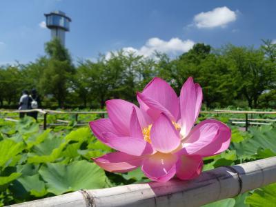 「古代蓮の里」のハス_2018_咲き始めです。花少ないが綺麗です。(埼玉県・行田市)