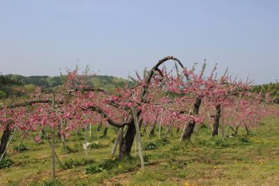 牟礼の丹霞郷と妙高の菜の花