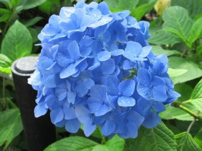 本土寺の紫陽花さんぽ