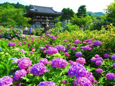 紫陽花満開!京都は福知山の観音寺で誕生日を祝う