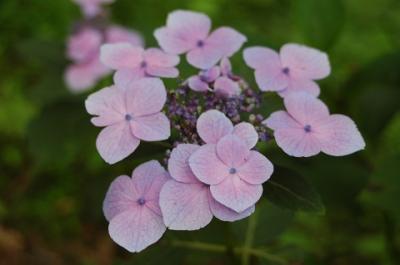紫陽花 祭り   IN  サマーランド