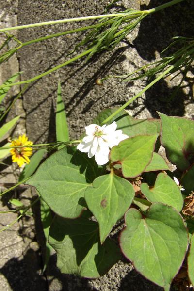 橋本で見付けた八重咲きのドクダミ