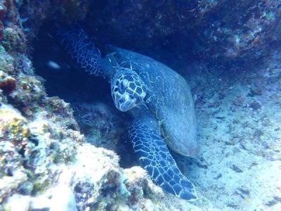 梅雨明けの沖縄へ(12)残波岬ダイビングでお昼寝中のウミガメさんに出会ったぁ