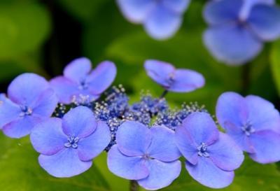 鎌倉の紫陽花・・・
