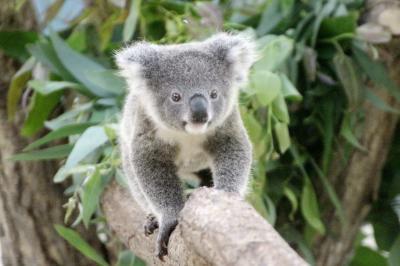 成長した赤ちゃん詣の埼玉こども動物自然公園(東園編)ニーナちゃんがいないコアラ舎で、シャインくん、早くも1人立ちか!?~外で過ごすようになったカンガルーやワラビーの赤ちゃんたち