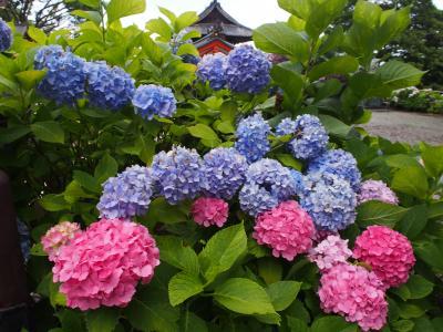 近くのアジサイということでの勝尾寺、そこですごいことが