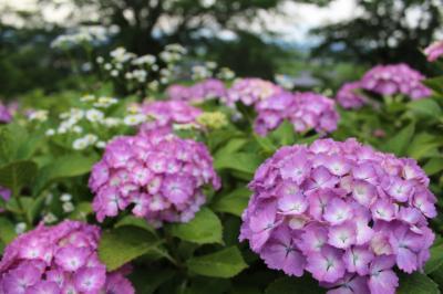 初夏を彩る紫陽花