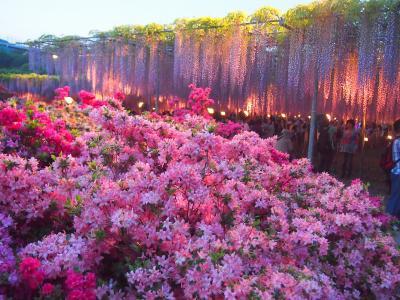 例年より藤の開花がかなり早かったあしかがフラワーパークへ夕方から行ってきました