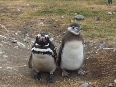 2018冬南米5か国の旅⑤マグダレナ島で12万羽のペンギンと出会う&プンタアレーナス街歩き