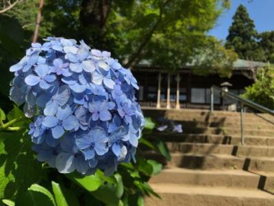 本土寺のあじさい2018