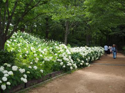 羽生選手国民栄誉賞おめでとうの弓弦羽神社とアジサイの神戸市立森林植物園