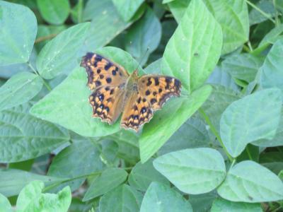 森のさんぽ道で見られた蝶⑬美しいキタテハが見られました