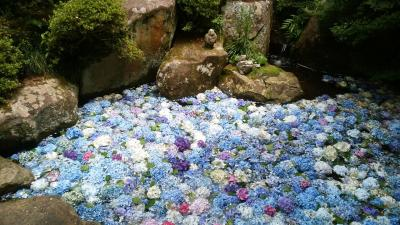 池いっぱいに浮かぶ紫陽花~雨引観音