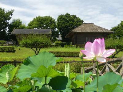 中宿歴史公園のハス_2018_綺麗に咲いていて、見頃です。(埼玉県・深谷市)