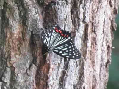 森のさんぽ道で見られた蝶⑭アカボシゴマダラの夏型を見ました