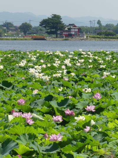 多々良沼のハス_2018_今年も沢山咲いています。(群馬県・館林市)