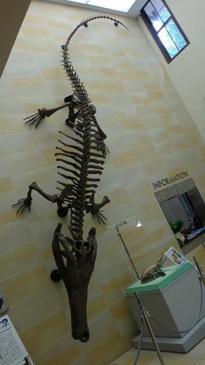 ゴンママの歩こう会 阪大総合学術博物館で、「マチカネワニ」の化石を見学。