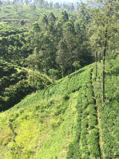 年越しヌワラエリア~紅茶の里から新年の花火と初日の出、そして鉄道からの一面と茶畑 -2017-18年 年越しスリランカ&インド周遊(6)