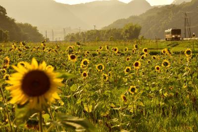 満開なひまわりが咲き広がる佐用町ひまわり畑を見に訪れてみた