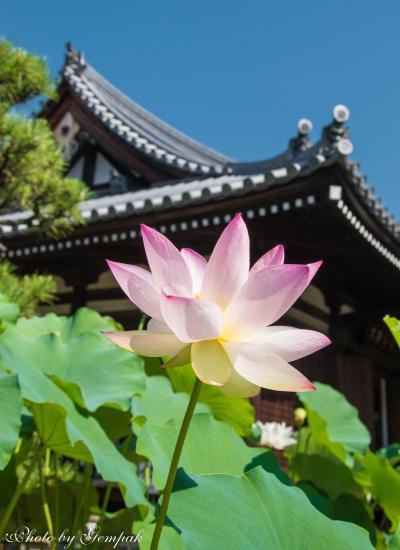 結婚式参列ついでに、猛暑の京都観光(3)法金剛院の蓮を愛でる