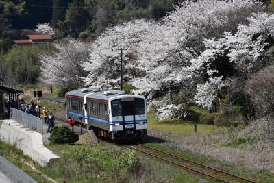 三江線 川戸-川平間沿線を歩く旅 ~江の川と春の花を楽しむ~(島根)